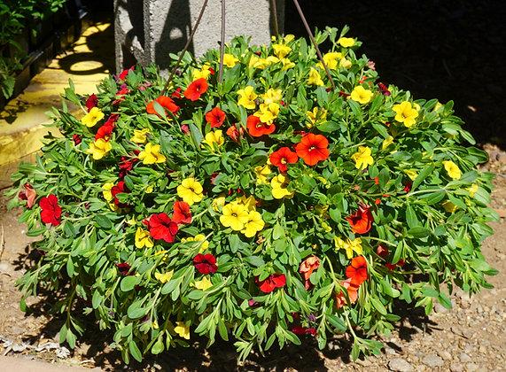 "Hang Basket 12"" Calibrachoa Orange, Red & Yellow"