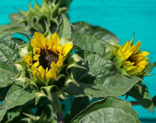 Sunflower 1gal Choco Sun