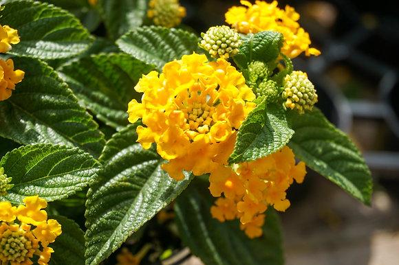Lantana 1gal Little Lucky Pot of Gold