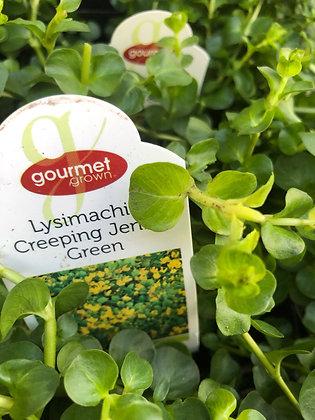 "Lysimachia 4""pot Creeping Jenny Green"