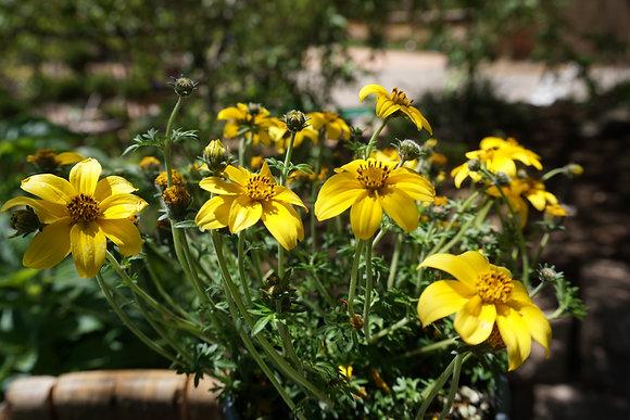 """Bidens 4""""pot Yellow Charm"""