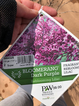 Lilac Bloomerang Dark Purple