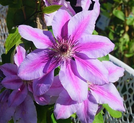 Clematis 2gal Nelly Moser