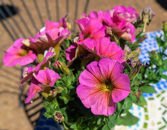 "Petunia 4""pot SuperCal Sunray Pink"