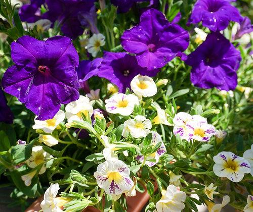 "Hang Basket 12"" Calibrachoa 'Candy Grape Splash & Petunia Night Sky'"