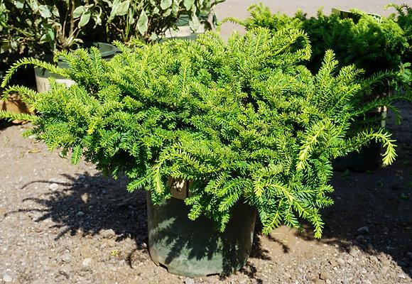 Emerald Spreader Japanese Yew 5gal