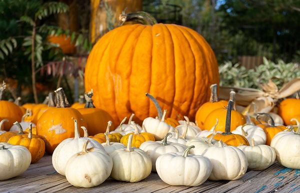 Munchkin Pumpkins1.jpg