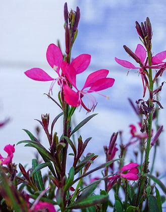 Gaura 1gal Whiskers Deep Rose