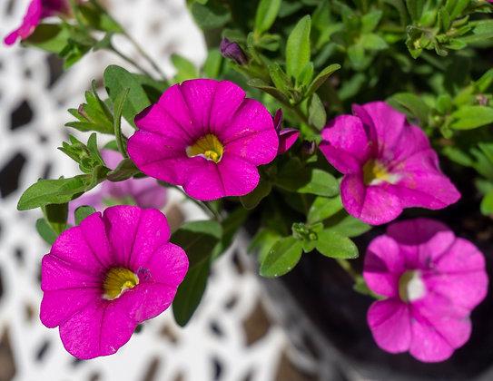 "Calibrachoa 4""pot Premier Pink"