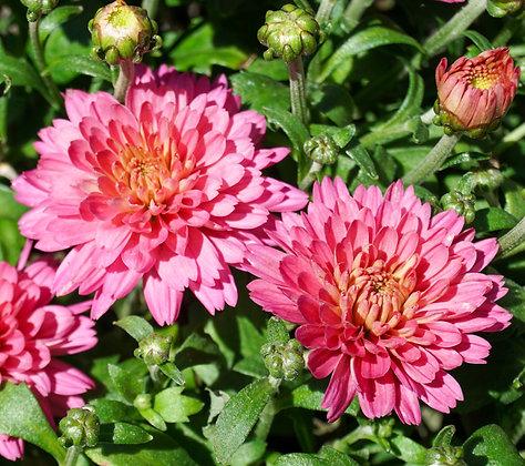 Chrysanthemum 1gal Flamingo Neon Pink