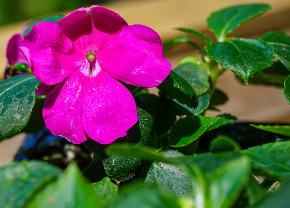 Impatiens 1gal Beacon Violet