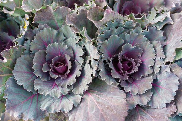 "Cabbage 4""pot Osaka Red"