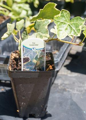 "Hedera Ivy 2""pot Goldchild"