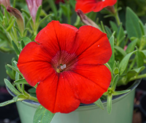 "Petunia Surfinia 4""pot Deep Red"