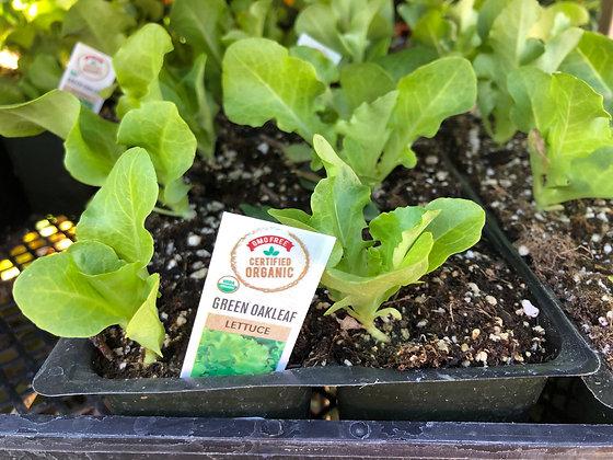 Lettuce 6-pak Green Oak Leaf
