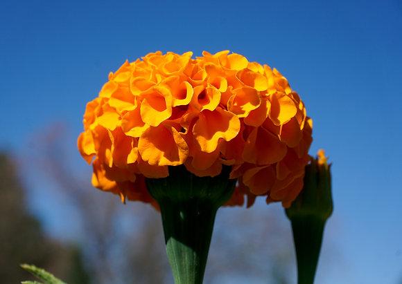 "Marigold African Tall 4""pot Orange"