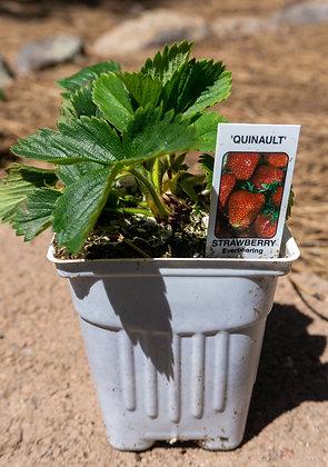 "Strawberry 3""pot Quinault"