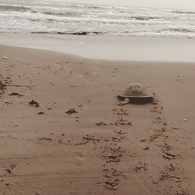 What a great way to start off my day!!! #seaturtles #nestingseason #nature _)))
