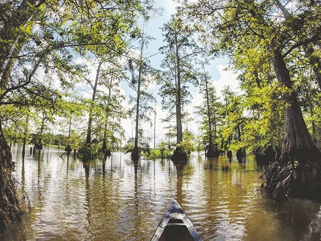 Canoeing in the bald cypress (Taxodium distichum) swamps! 🌲🌞🚣 #gopro