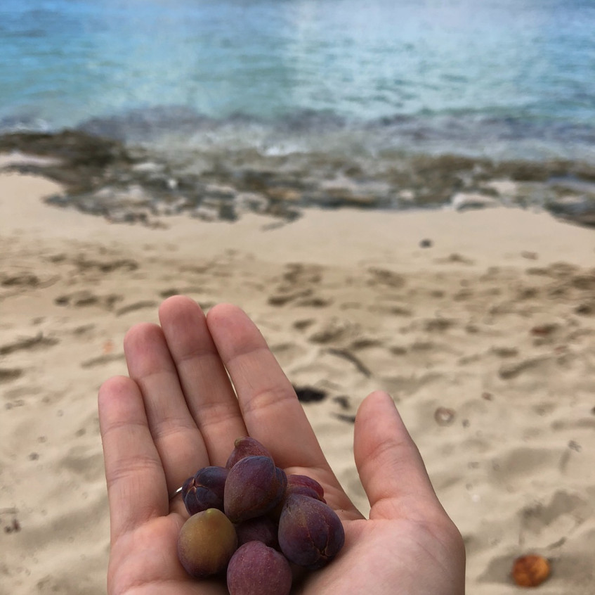 Freshly picked sea grapes