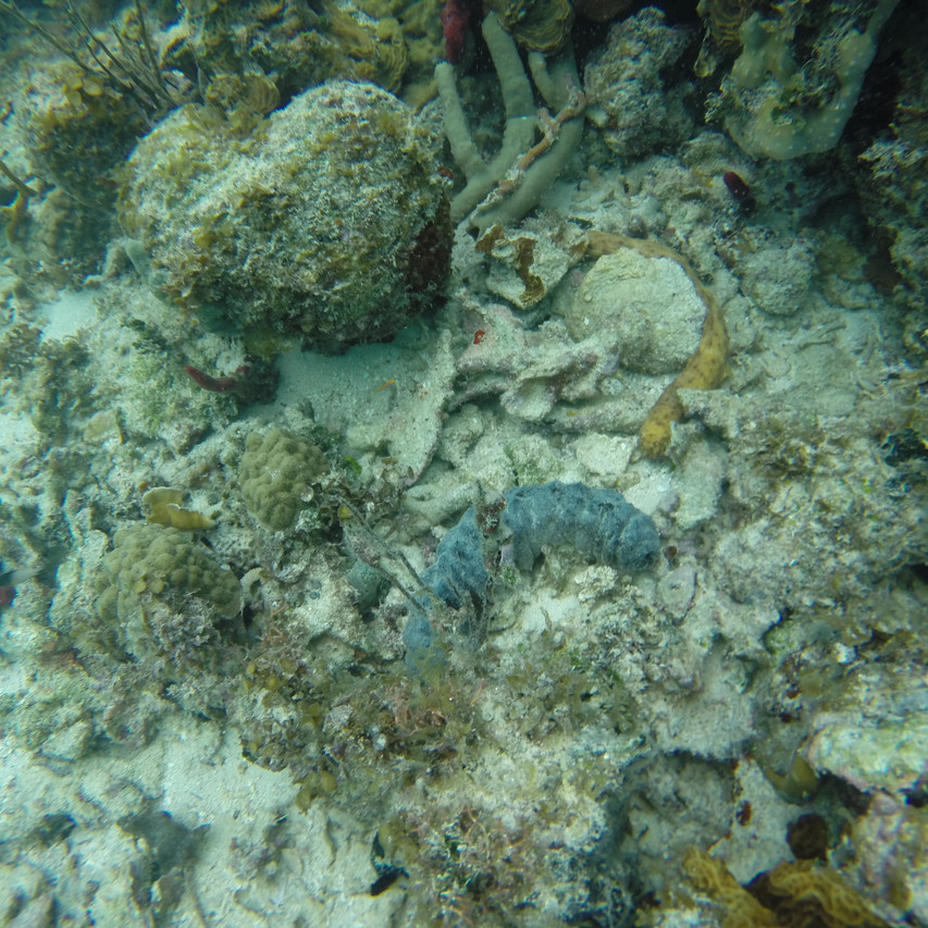 How many Sea Cucumbers can you spot?