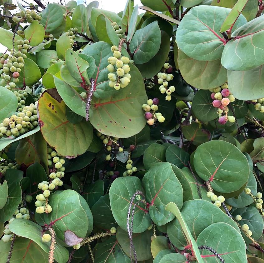 Native sea grapes