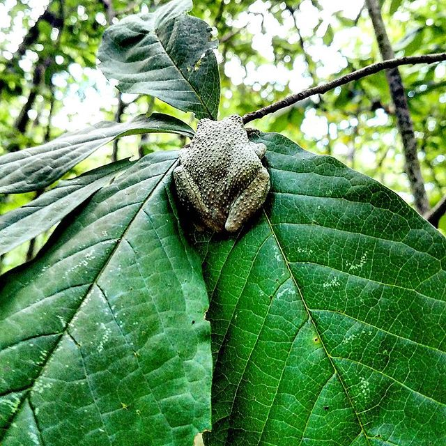 What a cute, sneaky, little tree frog on a paw paw tree 🐸🌱