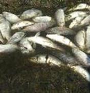 fish kill.jpeg