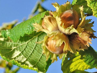 Oregon hazelnut growers face high demand, record price