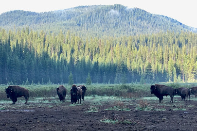 Ecological Impacts of the Banff Bison Reintroduction