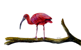 "Scarlet Ibis  4""x6"" Original Watercolor AVAILABLE"