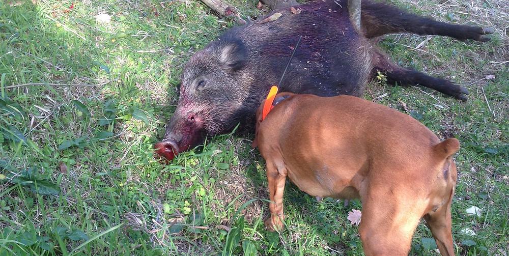 Wildschwein Wildschweinjagd Jagd Italien Permakultur Natur Gartenbau Gemüsegarten Autarkie Selbstversorgung