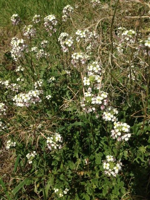 Wilde Rauke Wasabi Rucola weißblühend Italien Wildkräutersalat