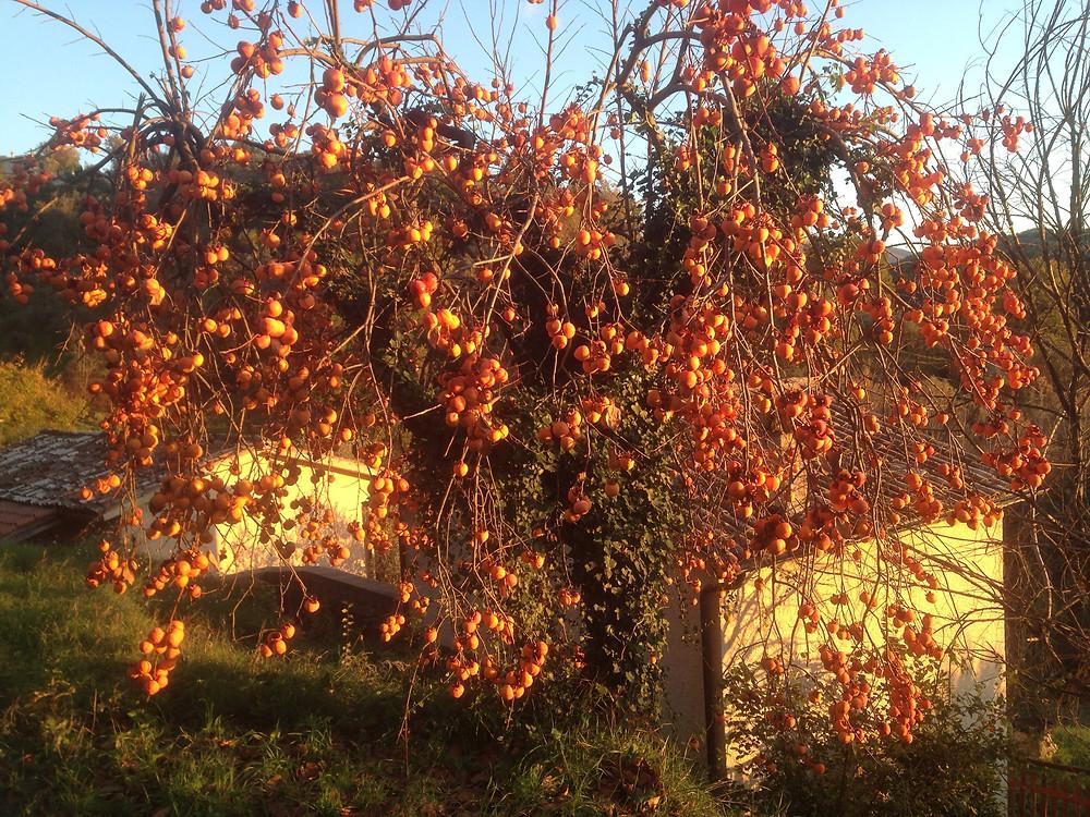 Kaki Kakibaum Permakultur Selbstversorgung Teilen Obst Gemüse Autarkie vegan DIY Landleben Italien