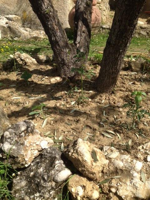 Food Forest Autarkie Selbstversorgung Permakultur Mischkultur Olivenbaum Food Forest Tomaten Gurken Paprika Landwirtschaft Home Farming