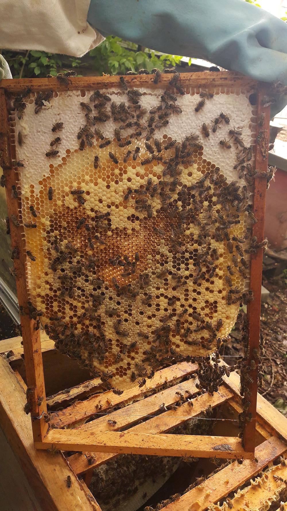 Religion Spiritualität Bienenvolk Bienen Imkerei Bien Superorganismus Natur morphisches Feld Intuition Gott