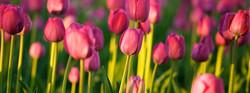 IPG Tulips