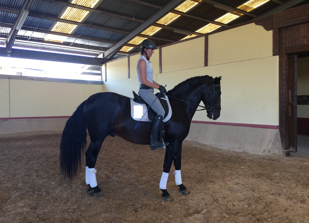 YEAR BORN: 2012 PRICE: Medium GENDER: Stallion BREEDING: 100% Escalera HEIGHT: 163 cm - 16 hands COLOR: Dark Bay DISCIPLINE: Dressage TRAINING LEVEL: 1stLevel X-RAYS: No PIRO FREE: Yes LOCATION: Spain  Fynn has the movements to compete head-to-head against warmbloods, but retains all of the attributes that make PREs so wonderful, including an amazingly easy temperament and sweet disposition, and excellent work ethics. It's a horse with so much willingness to please and to work that you have to tell him to stop!   Fynn has a sport built with a rectangular body, long legs, slender neck, strong back and loin, very powerful croup, and sloping shoulder.  He is forward, very light to the leg, responsive, and super comfortable.    He has top notch gaits, including an excellent walk with good ground coverage and over tracking, a balanced trot that's a dream to sit and already shows potential for extension, and an uphill and powerful canter!  He has basic schooling of walk, trot and canter, counter canter, and has been introduced to lateral movements, leg yields, shoulder fore, shoulder in, turn on the haunches, and shows great lateral flexibility and high trainability.  Absolutely gorgeous dark bay almost-black with lots of hair, sweet, easy to handle and ride, Fynn steps inside of you and just lingers. If you're looking for a dressage prospect with warmblood gaits but PRE good looks, trainability, rideability, and easy temperament, this horse's the one for you. He ticks all the boxes of movement, dressage aptitude, health, good character, willingness to work, piro free etc.  A perfect choice for an Adult Amateur with high dressage competition goals.  Fynn is 100% Escalera , representing the Escalera line on both sides of his pedigree.  He is the grandson of the legendary CALIFICADO Stallion OBCECADO of Yeguada Militar, and of the elite MEJORANTE Stallion Dominante XVI!
