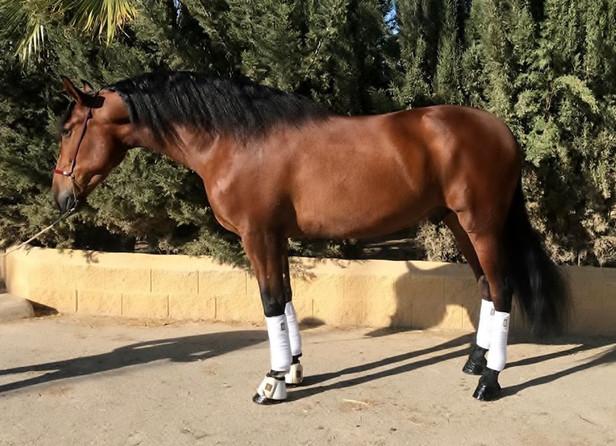 Piropo - 2012 PRE Stallion