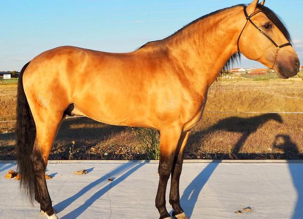 Lustroso - 2015 PSL Stallion
