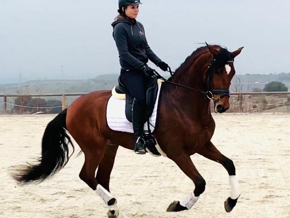Balamer - 2015 PRE Stallion