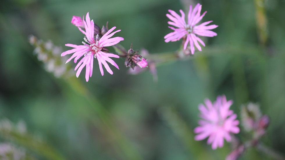 Ragged Robin Single Flower Essence