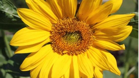 19. Sunflower - The Sun