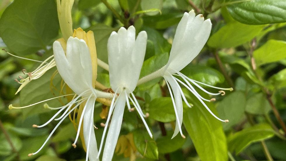 Honeysuckle Single Flower Essence