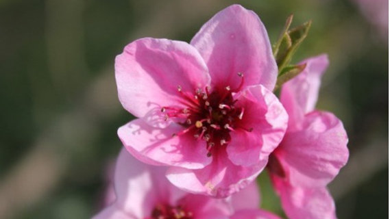 5. Peach Tree - The Hierophant