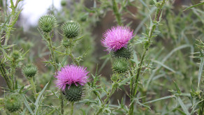 Meadow Thistle, makes a great defensive essence