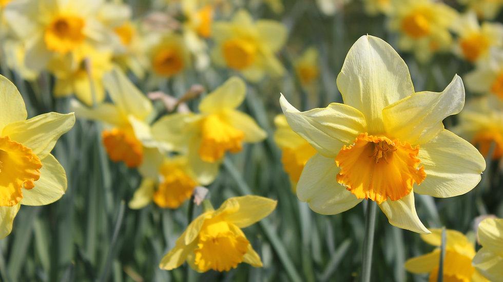 Daffodil Single Flower Essence