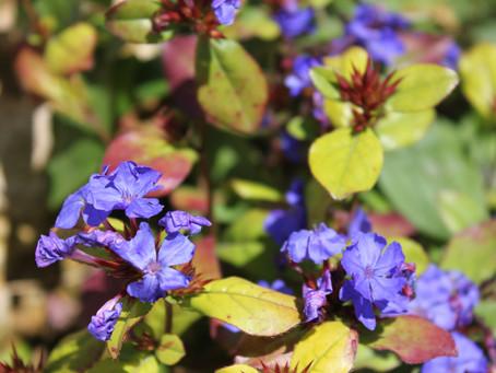History of modern Flower Essences