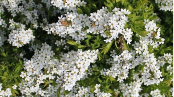 16. Bridal Wreath - The Tower