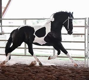 ERIK BP 50 Barock-Pinto Stallion (2)_JPG